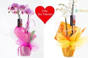 Regala una 'rosa eterna', una orquídea o un pack  San Valentín